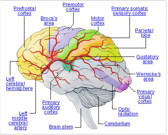 brain-diagram